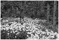Daisies in dark forest, Shore Acres. Oregon, USA ( black and white)