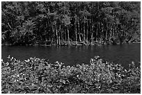 Flowers, McKenzie river, and trees. Oregon, USA ( black and white)