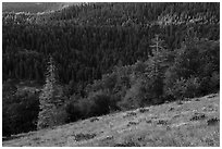 Wildflowers and conifer forest. Cascade Siskiyou National Monument, Oregon, USA ( black and white)