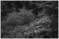 Forestand undergrowth with white flowers. Cascade Siskiyou National Monument, Oregon, USA ( black and white)