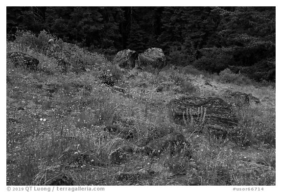 Wildflowers and rocks in clearing. Cascade Siskiyou National Monument, Oregon, USA (black and white)