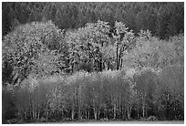 Trees in autumn color and evergreens. Oregon, USA ( black and white)