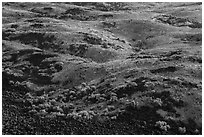 Shrubs and volcanic rocks on Saddle Mountain, Hanford Reach National Monument. Washington ( black and white)
