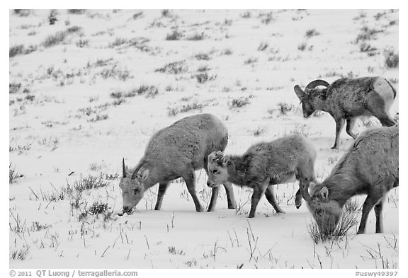 Group of Bighorn sheep in winter. Jackson, Wyoming, USA