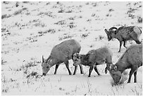 Group of Bighorn sheep in winter. Jackson, Wyoming, USA (black and white)