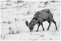 Bighorn sheep grazing on snow-covered slope. Jackson, Wyoming, USA (black and white)