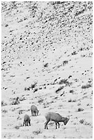 Family of Bighorn sheep, winter snow. Jackson, Wyoming, USA (black and white)