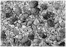 Close-up of shells, Sanibel Island. Florida, USA ( black and white)