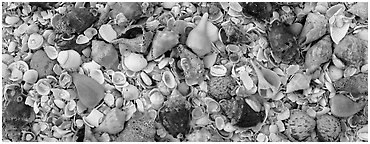 Beach close-up with seashells, Sanibel Island. Florida, USA (Panoramic black and white)