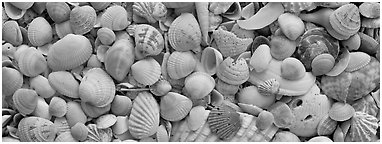 Sea shell carpet close-up, Sanibel Island. Florida, USA (Panoramic black and white)