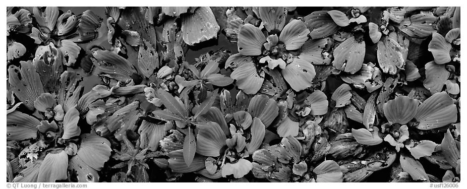 Swamp aquatic plants close-up. Corkscrew Swamp, Florida, USA (black and white)