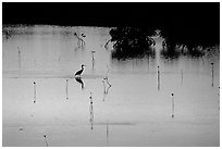 Bird at sunset among mangroves, Cudjoe Key. The Keys, Florida, USA (black and white)