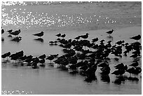 Flock of migrating birds, Ding Darling National Wildlife Refuge, Sanibel Island. Florida, USA (black and white)