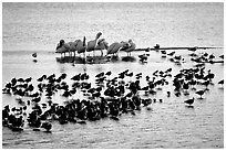 Large gathering of birds, Ding Darling National Wildlife Refuge, Sanibel Island. Florida, USA (black and white)
