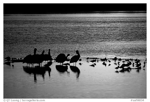 Pelicans and other birds at sunset, Ding Darling NWR, Sanibel Island. Florida, USA (black and white)