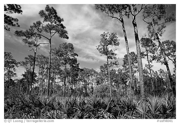 Pine forest with palmetto undergrowth. Corkscrew Swamp, Florida, USA (black and white)