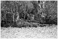 Aligator on the banks of pond. Corkscrew Swamp, Florida, USA (black and white)