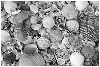 Shells close-up, Sanibel Island. Florida, USA ( black and white)