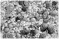 Sea shells close-up, Sanibel Island. Florida, USA ( black and white)