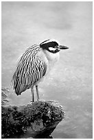 Yellow-crowned night heron, Ding Darling NWR, Sanibel Island. Florida, USA (black and white)
