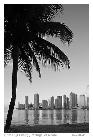 Palm tree and downtown skyline, Miami. Florida, USA (black and white)