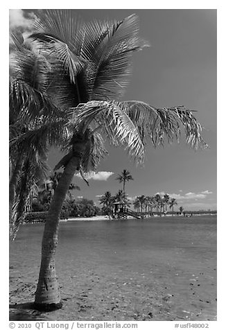 Palm trees and pond,  Matheson Hammock Park. Coral Gables, Florida, USA (black and white)