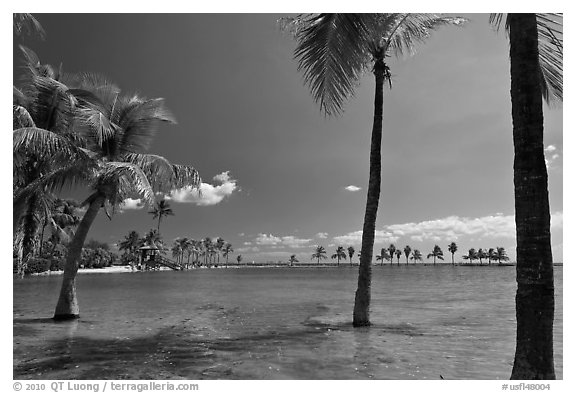 Palm trees during tidal flood,  Matheson Hammock Park. Coral Gables, Florida, USA (black and white)