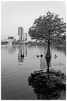 Bald Cypress tree in Lake Eola and high rise buildings. Orlando, Florida, USA ( black and white)