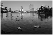 Swans and skyline, lake Eola. Orlando, Florida, USA ( black and white)