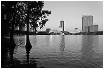Bald Cypress and skyline, Lake Eola. Orlando, Florida, USA ( black and white)