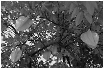 Carambola Fruit. Orlando, Florida, USA ( black and white)