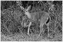 Endangered Key deer, Big Pine Key. The Keys, Florida, USA (black and white)