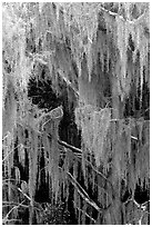 Spanish moss, Okefenokee Swamp. Georgia, USA ( black and white)