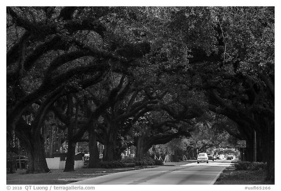 Road through tree tunnel. Coral Gables, Florida, USA (black and white)