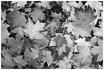 Fallen maple leaves. Georgia, USA ( black and white)