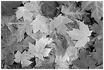 Close-up of maple leaves in fall colors. Georgia, USA ( black and white)