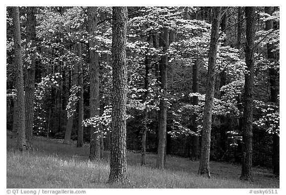 Pines and Dogwood trees in bloom, Bernheim arboretum. Kentucky, USA