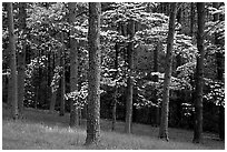 Pines and Dogwood trees in bloom, Bernheim arboretum. Kentucky, USA (black and white)