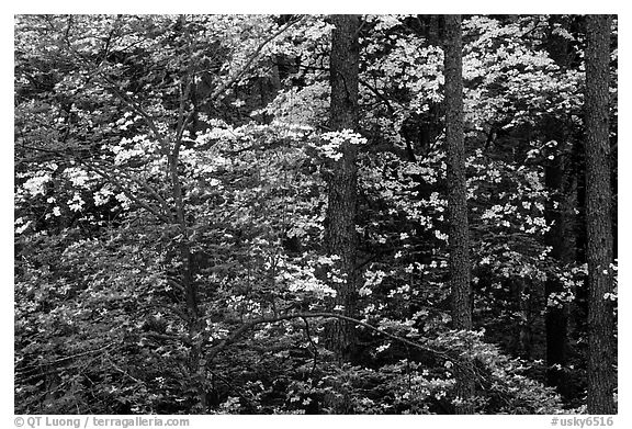 Pink and white trees in bloom, Bernheim arboretum. Kentucky, USA (black and white)