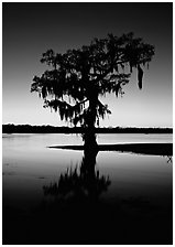 Bald cypress silhouetted at sunset, Lake Martin. Louisiana, USA (black and white)