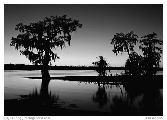 Bald Cypress at sunset on Lake Martin. Louisiana, USA (black and white)