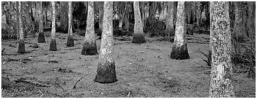 Swamp landscape with bald cypress. New Orleans, Louisiana, USA (Panoramic black and white)