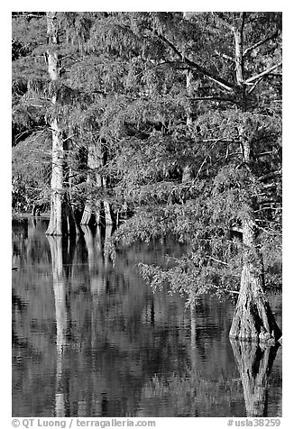 Bald cypress with needles in fall color. Louisiana, USA (black and white)