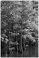 Cypress with needles in fall color. Louisiana, USA (black and white)