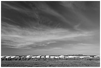 Cotton modules covered by tarps. Louisiana, USA (black and white)
