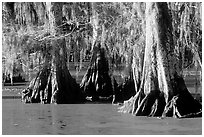Bald Cypress growing out of the green waters of the swamp, Lake Martin. Louisiana, USA (black and white)
