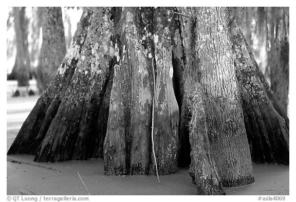 Bald Cypress trunks, Lake Martin. Louisiana, USA (black and white)