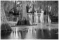 Bald Cypress and reflections, Lake Martin. Louisiana, USA (black and white)