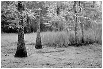 Bald cypress and swamp in spring, Barataria Preserve, Jacques Laffite Park. New Orleans, Louisiana, USA ( black and white)