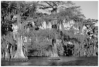 Bald cypress, late afternoon, Lake Martin. Louisiana, USA (black and white)